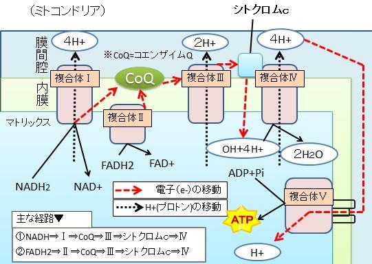 基質レベルのリン酸化と酸化的リ...