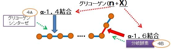 グリコーゲンの合成と分解